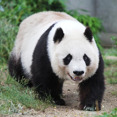 ジャイアントパンダの画像 p1_15